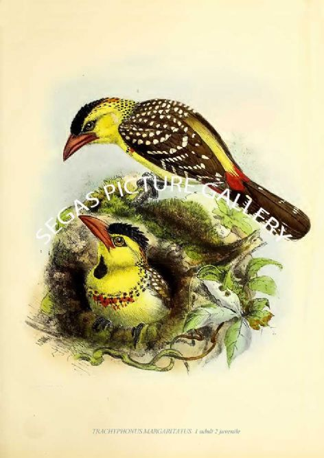 Fine art print of the TRACHYPHONUS MARGARITATUS  1 adult 2 juvenile by J G Keulemans (1871)